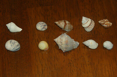 """Set Of 10 Assorted Small Hermit Crab Seashells 1/2"""" To 1""""--Set 74"""