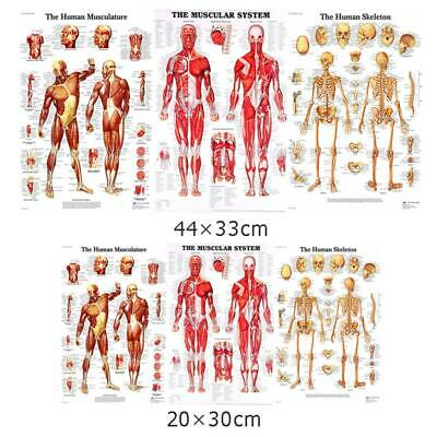 Human Muscular System Education Anatomy Muscle Biceps Poster Print New
