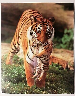 Momma Tiger w Cub in Mouth Poster Print Vintage Wall Art New 1978 Lithograph Mom