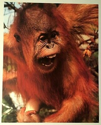 1982 Baby Orangutan Lithograph Poster Print Vintage Wall Art Richard Wm King New