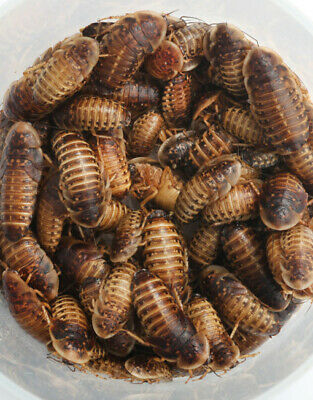 Dubia Roaches - All Sizes Available