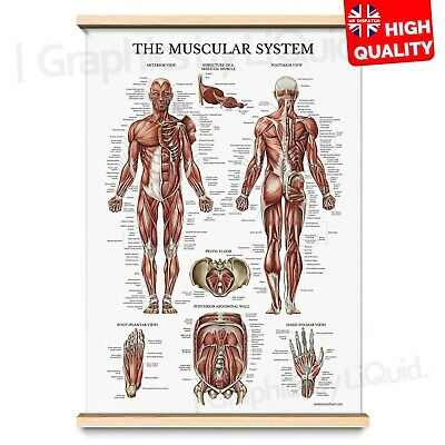 Muscle Anatomy Superficial Muscle Chart Human Body Deep Poster | A4 A3 A2 A1 |