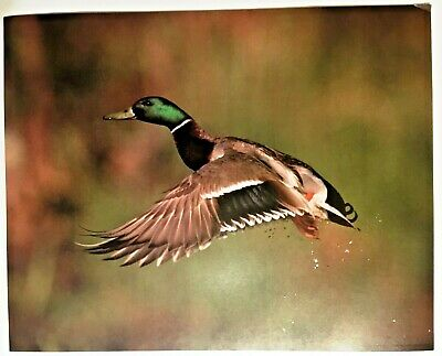 1987 Mallard Duck Flying Wildlife Lithograph Poster Print Vintage Wall Art New