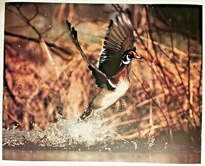 1986 Duck Flying Out of Water Wildlife Lithograph Poster Print Vintage Wall Art