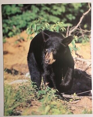 1986 Black Bear Walking Wildlife Lithograph Poster Print Vintage Wall Art New