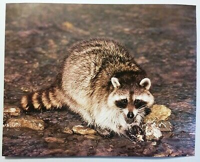 1987 Raccoon in Rocks Wildlife Lithograph Poster Print Vintage Wall Art New NOS