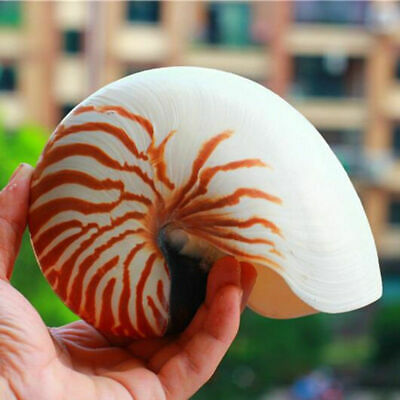 1pc Large Queen Nautical Shells Conch Natural Seashell Beach Home Decoration