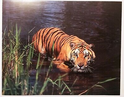 1986 Preying Tiger in Water Lithograph Poster Print Vintage Wall Art Brakefield