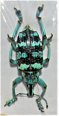 Blue & Black Banded Snout Beetle Eupholus linnei FAST FROM USA
