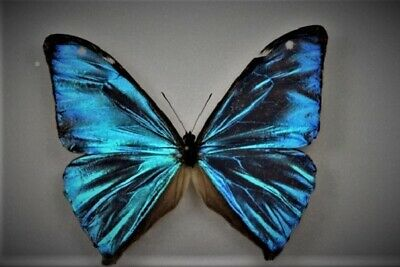 Aega Morpho Butterfly Morpho aega Male Folded FAST FROM USA