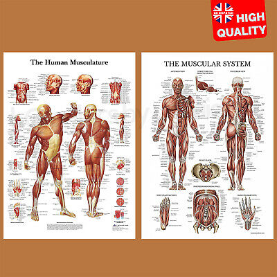 Muscular System Human Anatomy Muscle Chart Educational Poster Print A4 A3 A2 A1