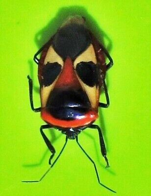 Rare Colorful Man-Faced Bug Catacanthus nigripes Stink FAST FROM USA