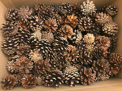 1.3kg PACK OF PINE TREE CONES - CHRISTMAS FESTIVE DECORATION - 3-6cm / 130+