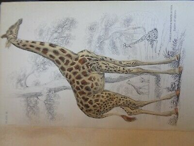Very Rare Old Book About Mamals 1840 Many Hand Coloured Plates