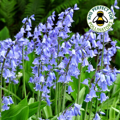 Hyacinthoides Non-Scripta Hispanica Bluebells Spring Flowering Bulbs Plants