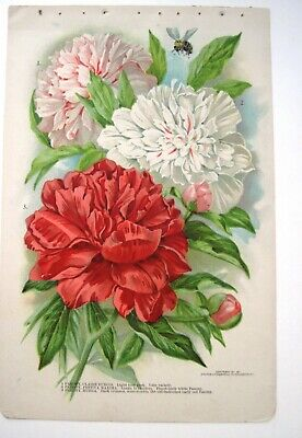 Lovely 1911 Double-sided Book Plate Litho of Pink & White Peonies & Poppy  *