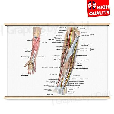 EDUCATIONAL ANTERIOR MUSCLE POSTER SET Poster Print Art A0 A1 A2 A3 A4 1049