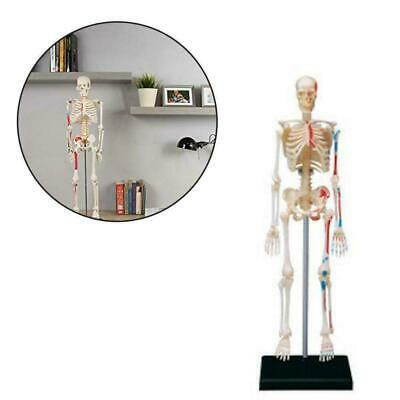 Human Skeleton Anatomy Series 3D Model Chart Biology Science Education-Moul U7F1
