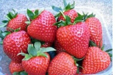 40 x STRAWBERRY SWEETHEART BARE ROOTED READY NOW FREE POSTAGE