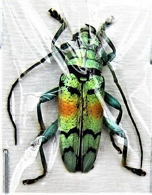 Beautiful Asian Longhorn Beetle Tmesisternus rafaelae FAST FROM USA