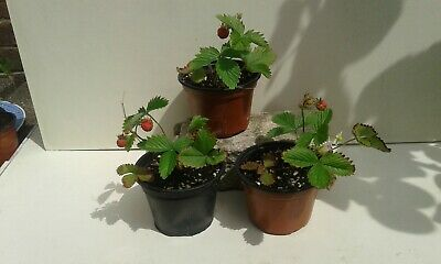 3 x Strawberry plants Frau Mieze Schindler Established rooted runners in pots.