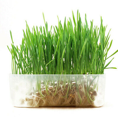800 Seeds Cat Grass Oat Seeds Many Sizes Cat Bird Digestive Health C22 Aid N3P7