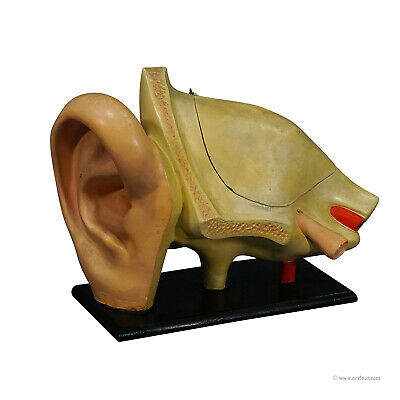 antique teaching aid modell of an ear - somso ca. 1900