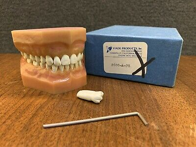 Viade Products Anatomical Typodont Dental Model in Box - 2600-A-78