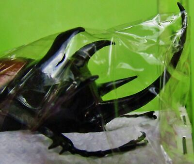 Large Five-Horned Rhinoceros Beetle Eupatorus gracilicornis Male Taxidermy FAST