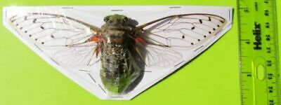 "Gigantic Cicada Pomponia intermedia Spread 6"" + Insect FAST FROM USA"
