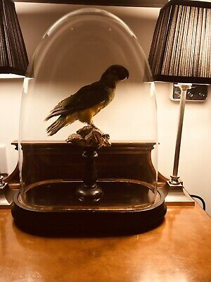 Antique Oval Glass Dome And Taxidermy Senegal Parrott