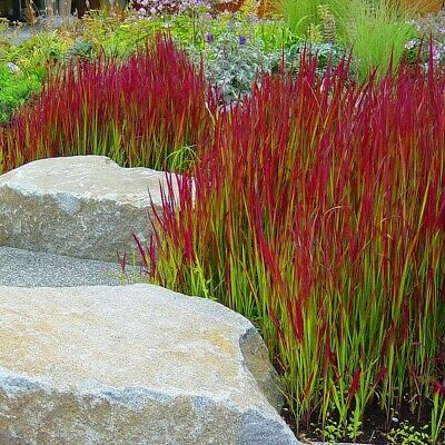 Imperata Cylindrica  Red Baron 'Japanese Blood Grass' Late Summer Feature
