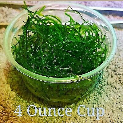 ***Deluxe Java Moss*** BUY 2 GET 1 FREE - USA Homegrown - High Quality
