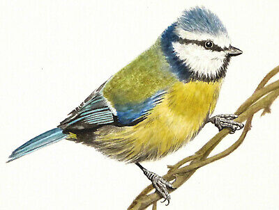 "ACEO ' BlueTit #4' Bird Print of Original Watercolour 2.5 X 3.5"" By E.Wardle"