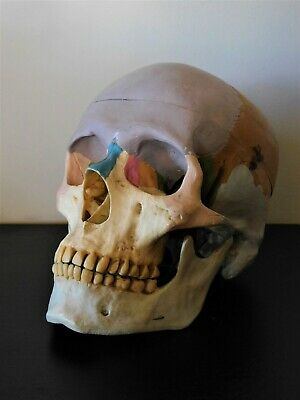 Antique Vintage Human Size Skull Model Anatomy Medical & Science Moving Mouth,
