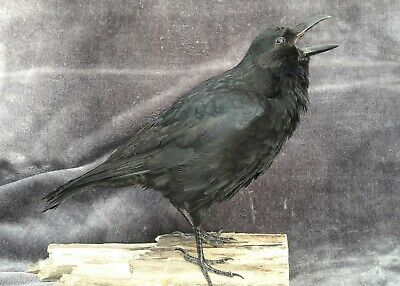 CARRION CROW FEET IN STANDING POSITION WEIRD GOTH