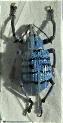 Uncommon Geoffroys Snout Beetle Eupholus geoffroyi FAST FROM USA
