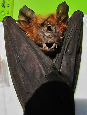 Real Intermediate Roundleaf Bat Hipposideros larvatus Hanging FAST FROM USA