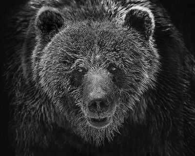 Beautiful Grizzly Bear Photograph On Cotton Rag Archival Paper 30X24 Inch