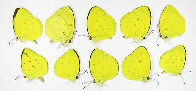 Pieridae Vivid Yellow Ucwy 05 A A 10 Pcs Eurema Hecabe Animal Collectibles Insect Butterfly Collectibles