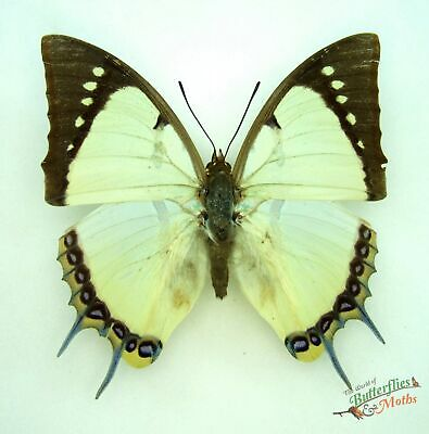 Polyura dolon grandis REAL butterfly Set x1 Indonesia A1- Entomology insect