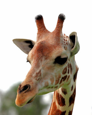 "8 1/2 x 11"" HQ PRINT PHOTO of HIGH RESOLUTION CLOSE UP of a COLORFUL GIRAFFE"