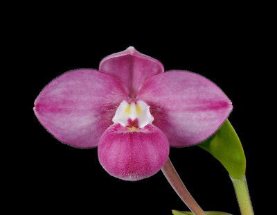 Phragmipedium fischeri slipper orchid species plant