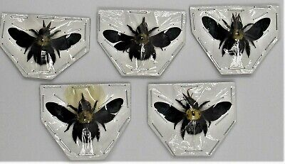 One Uncommon Asian Carpenter Bee Xylocopa confusa A-Condition FAST FROM USA