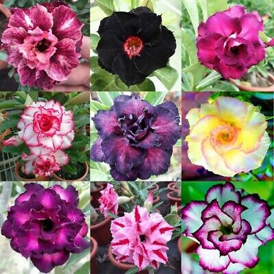 Rare Colors Desert Rose seeds fresh from Canada