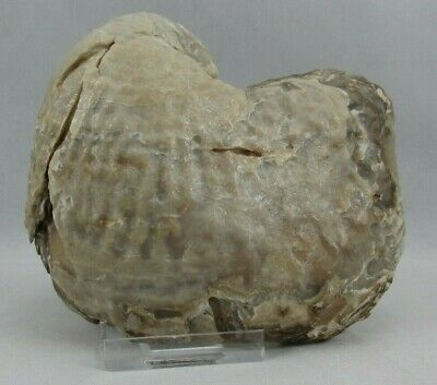 Fossil Cretaceous Exogyra Ponderosa Oyster North Texas Seashell 4.5 inches