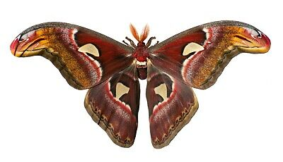 Giant Snake Head or Atlas Moth Attacus atlas Male Folded FAST FROM USA