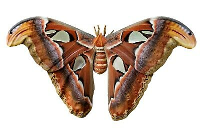 Giant Snake Head or Atlas Moth Attacus atlas Female Folded FAST FROM USA