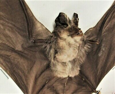 "Real Blyth's Horseshoe Bat Rhinolophus lepidus Gray Form Spread 7"" Span FAST USA"