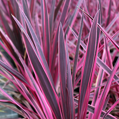 Cordyline australis 'Pink Passion' Cabbage Palm Herbaceous Shrub | 9cm Pot
